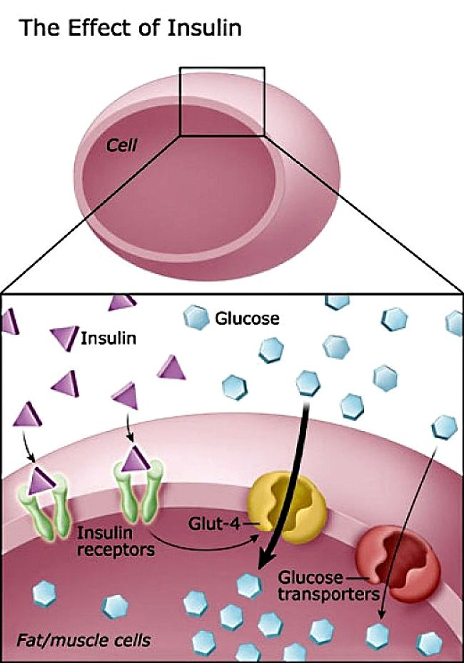 The Way Insulin Acts to Allow Sugar to be Taken up into Cells